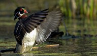 Wood Duck - Greece - © Zaphir Shamma - Apr 17, 2016