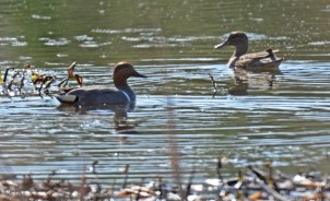 Green-winged Teal - High Acres Nature Area - © Dick Horsey - Apr 17, 2016