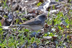 Dark-eyed Junco - High Acres Nature Area - © Dick Horsey - Apr 17, 2016