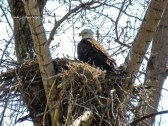 Bald Eagle - Chili - © Linda Schamberger - Apr 20, 2016