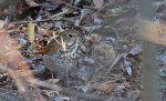 Hermit Thrush - Owl Woods - © Dick Horsey - Apr 21, 2016