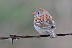 Field Sparrow - High Acres Nature Area (RBA Field Trip) - © Dick Horsey - Apr 23, 2016