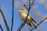 Ruby-crowned Kinglet - Firehouse Woods - © Dick Horsey - Apr 27, 2016