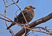 Brown-headed Cowbird (F) - Firehouse Woods - © Dick Horsey - Apr 28, 2016