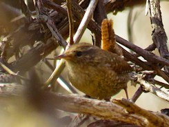 Winter Wren - Oatka Creek Park - © Jim Adams - Apr 18, 2016