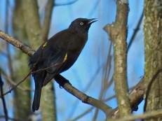 Rusty Blackbird - Roberts Wesleyan College - © Jim Adams - Apr 21, 2016