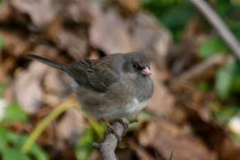 Dark-eyed Junco - Cobbs Hill - © Jeanne Verhulst - Apr 25, 2016