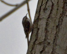 Brown Creeper - Lakeview Community Church Trail - © Vern Lindberg - Apr 29, 2016