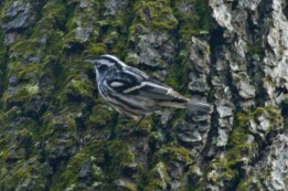 Black-and-White Warbler - Rochester - © Jeanne Verhulst - May 03, 2016