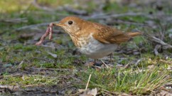 Veery - Lakeview Community Church Trail - © Dick Horsey - May 04, 2016