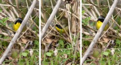Common Yellowthroat - Firehouse Woods - © Dick Horsey - May 04, 2016