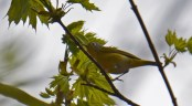 Nashville Warbler - Cobbs Hill - © Dick Horsey - May 05, 2016