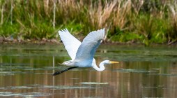 Great Egret - High Acres Nature Area - © Drew Yampanis - May 07, 2016