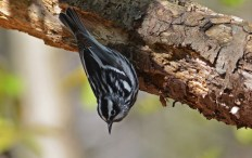 Black-and-white Warbler - Cobbs Hill - © Dick Horsey - May 08, 2016