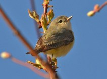Warbling Vireo - Webster - © Peggy Mabb - May 08, 2016