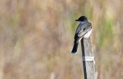 Eastern Kingbird - High Acres Nature Area - © Dick Horsey - May 10, 2016