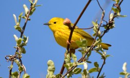 Yellow Warbler - High Acres Nature Area - © Dick Horsey - May 10, 2016