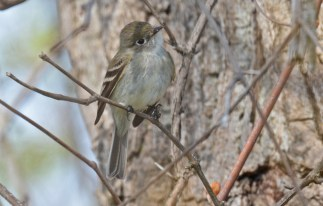 Least Flycatcher - High Acres Nature Area - © Dick Horsey - May 10, 2016