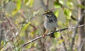 Savannah Sparrow - High Acres Nature Area - © Dick Horsey - May 10, 2016