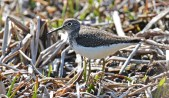 Solitary Sandpiper - High Acres Nature Area - © Dick Horsey - May 10, 2016