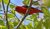 Scarlet Tanager - Cobbs Hill - © Dick Horsey - May 11, 2016