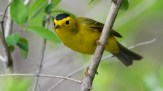 Wilson's Warbler - Lakeview Church Trail - © Dick Horsey - May 13, 2016