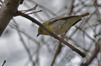 Yellow-throated Vireo - Firehouse Woods - © Dick Horsey - May 13, 2016