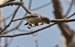 Blue-gray Gnatcatcher - Firehouse Woods - © Dick Horsey - May 13, 2016
