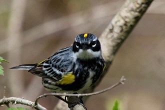 Yellow-rumped Warbler - Firehouse Woods - © Jeanne Verhulst - May 13, 2016