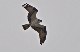 Osprey - Firehouse Woods - © Dick Horsey - May 14, 2016