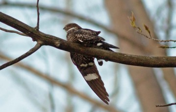 Common Nighthawk - Lakeview Church Trail - © Kimberly Sucy - May 16, 2016
