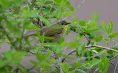 Common Yellowthroat (F) - Lakeview Church Trail - © Dick Horsey - May 17, 2016