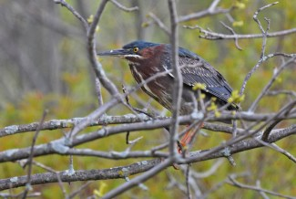 Green Heron - High Acres Nature Area - © Dick Horsey - May 18, 2016