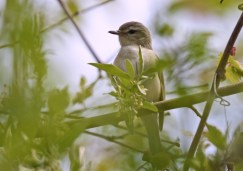 Warbling Vireo - High Acres Nature Area - © Dick Horsey - May 18, 2016