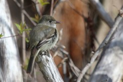 Least Flycatcher - Island Cottage Woods - © Jeanne Verhulst - May 18, 2016