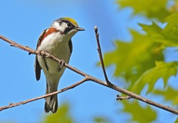 Chestnut-sided Warbler - Firehouse Woods - © Dick Horsey - May 24, 2016