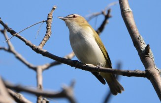 Red-eyed Vireo - Firehouse Woods - © Dick Horsey - May 24, 2016