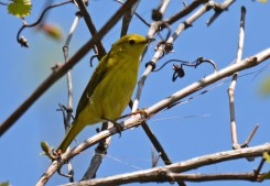 Yellow Warbler (F) - Lakeview Church Trail - © Dick Horsey - May 24, 2016