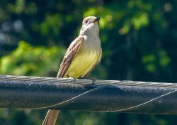 Great Crested Flycatcher- Penfield - © Carolyn Ragan - May 24, 2016
