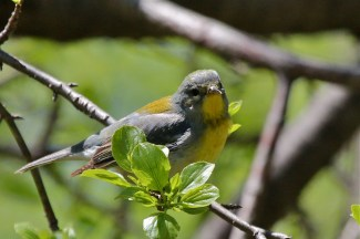Northern Parula - Firehouse Woods - © Jeanne Verhulst - May 19, 2016