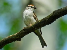 Chipping Sparrow - Oatka Creek Park - © Jim Adams - May 22, 2016
