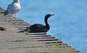 Double-crested Cormorant - Summerville Pier - © Dick Horsey - May 31, 2016
