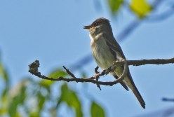 Eastern Wood-Pewee - Lakeview Church Trail - © Dick Horsey - May 31, 2016