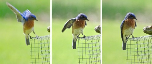 Eastern Bluebird - Avon - © Candace Giles - Jun 04, 2016