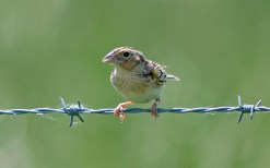 Grasshopper Sparrow - Avon - © Kimberly Sucy - Jun 04, 2016