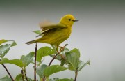 Yellow Warbler - Beatty Point - © Dick Horsey - Jun 07, 2016