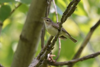 Warbling Vireo - Beatty Point - © Dick Horsey - Jun 07, 2016