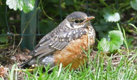 American Robin (Juv) - Brighton - © Dick Horsey - Jun 08, 2016