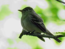 Acadian Flycatcher - Bergen Swamp - © Jim Adams - Jun 09, 2016