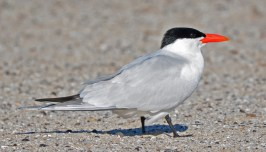 Caspian Tern - Charlotte Beach - © Dick Horsey - Jun 10, 2016